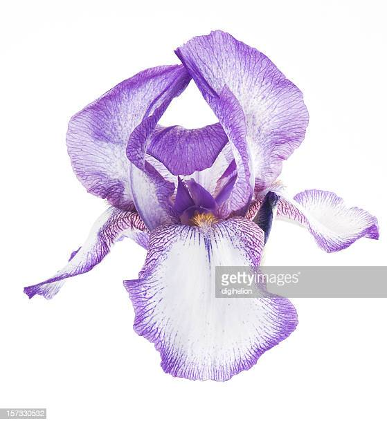Beautiful Purple iris flower on white background