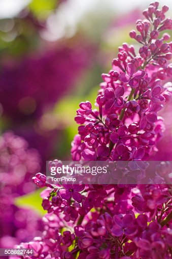 Beautiful purple lilac flowers outdoors : Stock Photo