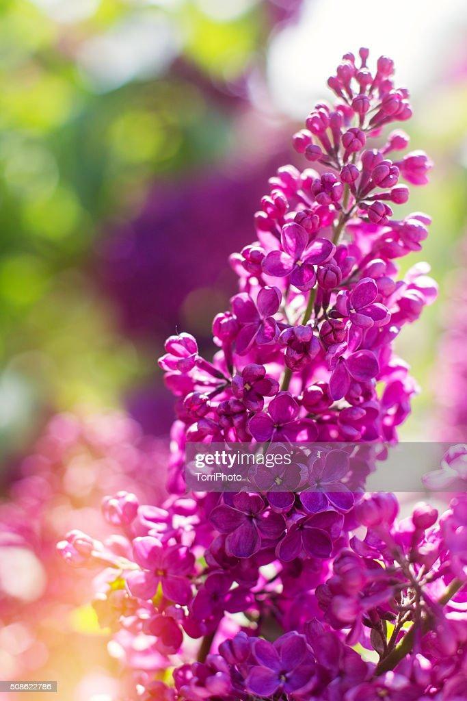 Beautiful purple lilac flowers outdoors : Stock Photo