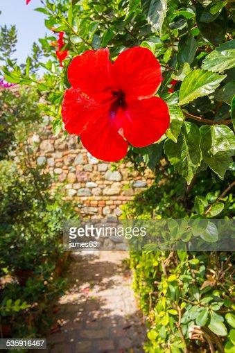 beautiful red flower Hibiscus : Stock Photo