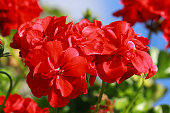Geraniums are among the favorite garden and balcony plants