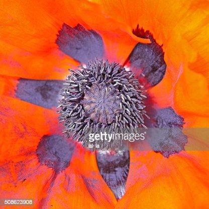 Beautiful red poppy inside : Stock Photo