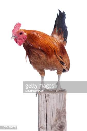 Beautiful Red Rooster on Fence Post Isolated White