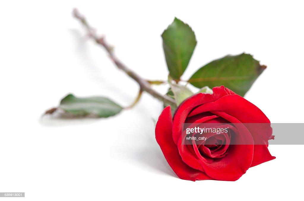 Linda Rosa vermelha isolada no fundo branco : Foto de stock