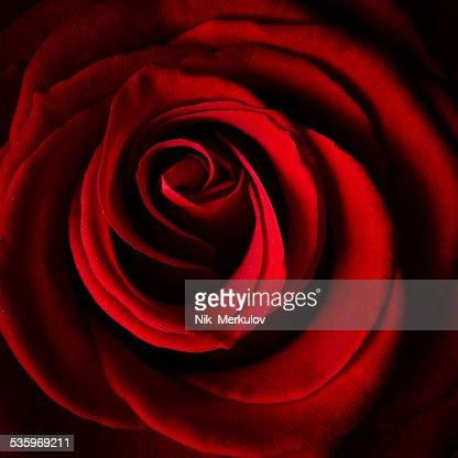 Beautiful red rose : Stock Photo