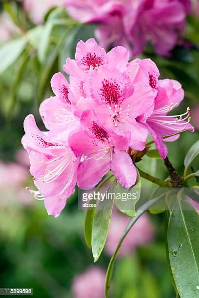 Rododendro cabeza de flor