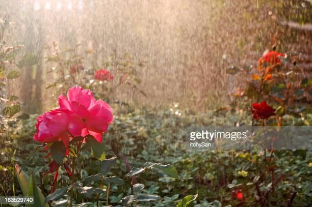 Wunderschöne rose garden