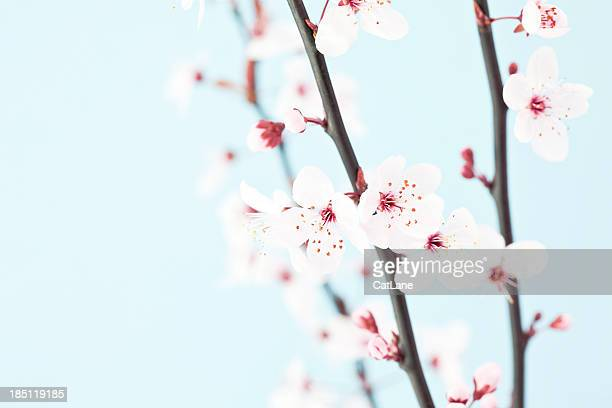Beautiful Sakura Cherry Blossom