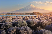 Beautiful scenery during sunset of Mountain Fuji and flower field at kawaguchiko lake in Japan This is a very popular for photographers and tourists. Travel and natural Concept