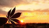Beautiful sheet of cannabis marijuana in the defocus with the image of the formula THC and CBD. Concept of herbal alternative medicine, cbd oil, pharmaceutical industry. Tetrahydrocannabinol and canna