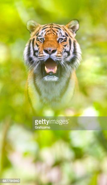 Beautiful siberian tiger standing looking at camera
