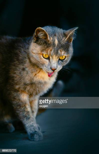 beautiful silver cat licking its mouth on white