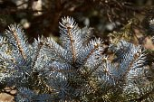 Picture of the beautiful spring fir tree leaves.