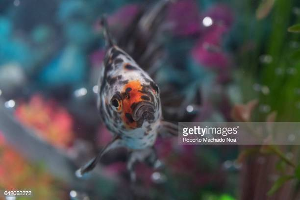 Beautiful stained variety of goldfish pet in home aquarium