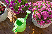 beautiful summer flowers in flowerpots in garden. chrysanthemum, petunia, watering can