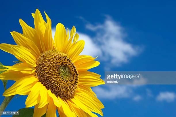 Beautiful sunflower against blue sky