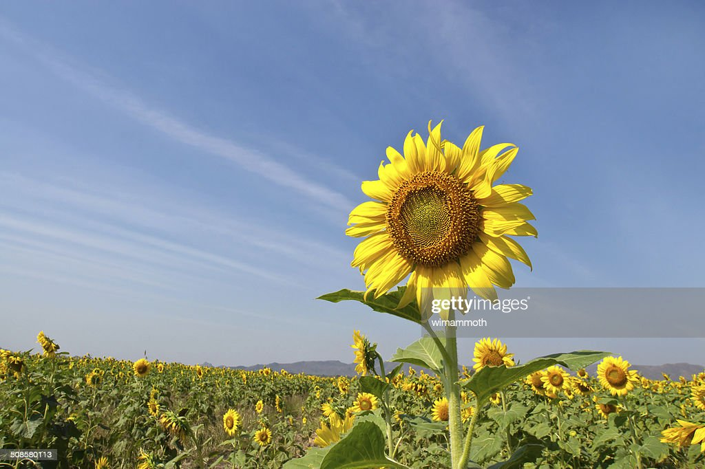 Beautiful sunflower against blue sky : Stock Photo