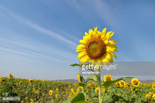 Beautiful sunflower against blue sky : Stock Photo