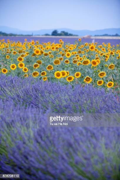 Beautiful sunflower and lavender field near Valensole, Provence in summer