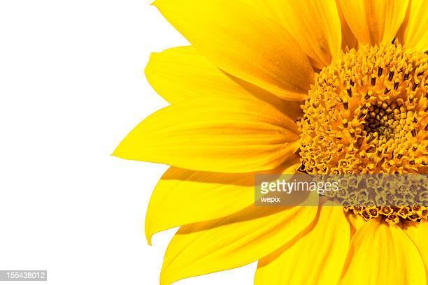 Beautiful sunflower blossom macro isolated high resolution XXL