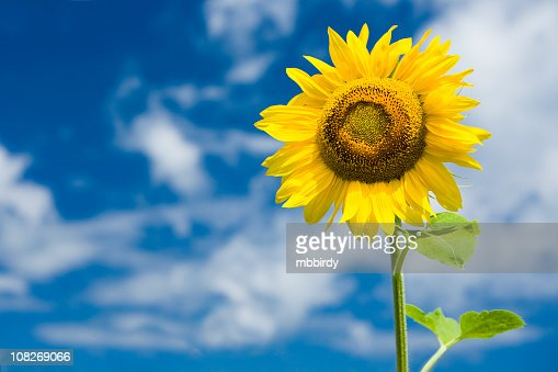 Beautiful sunflower : Stock Photo