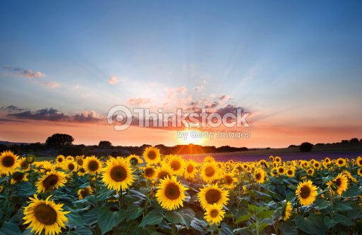 Girasoli Di Estate Tramonto Paesaggio Con Cielo Blu Foto stock ...