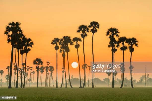 Beautiful sunrise with sugar palm trees and rice field in fresh and romantic morning
