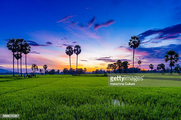 Beautiful sunset of palms trees on the rice field