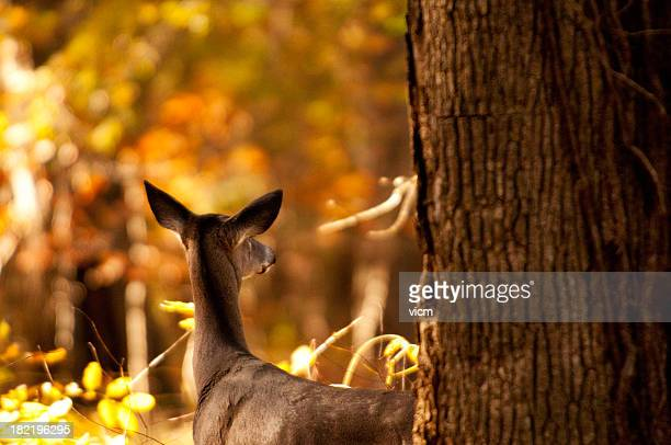 Beautiful sunset photo of white tailed doe in the woods