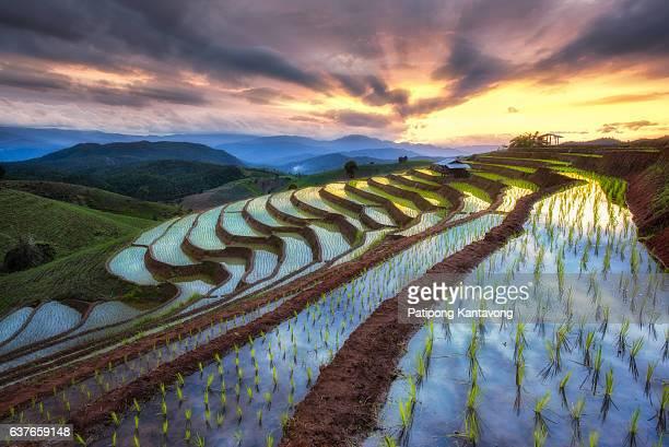 Beautiful sunset with rice fields chiangmai , Thailand
