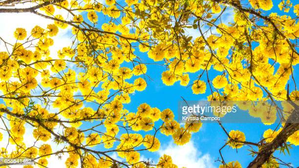 A beautiful Tabebuia tree blossom in spring with golden flowers