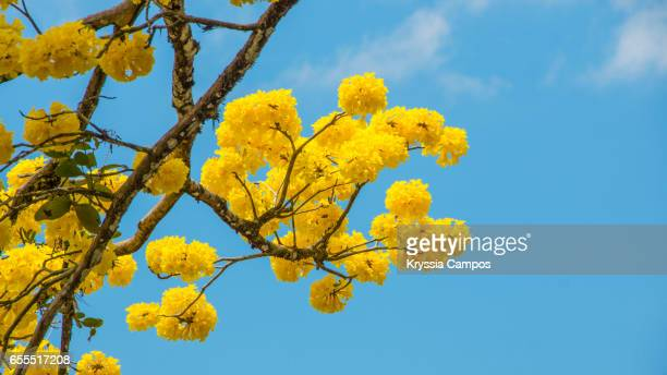 A beautiful Tabebuia tree in full bloom shows off its yellow flowers against a vivid blue sky