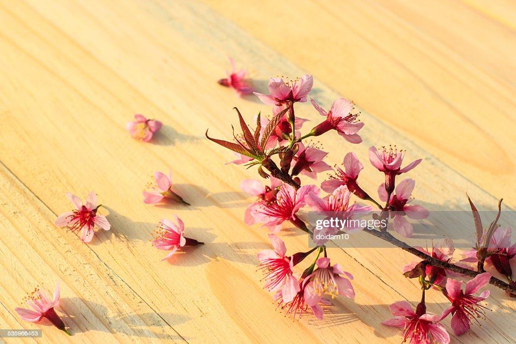 beautiful Thai sakura cherry blossoms background : Stock Photo
