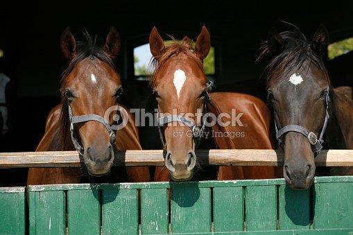 Beautiful Thoroughbred Horses At The Barn Door Stock Photo Thinkstock