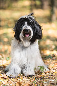 Beautiful Tibetan terrier dog or Tsang Apso, sitting in the forest in an autumn walk, looking at camera, shallow deep of field