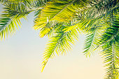 Beautiful Toned sunlight Palm leaves background with copy space