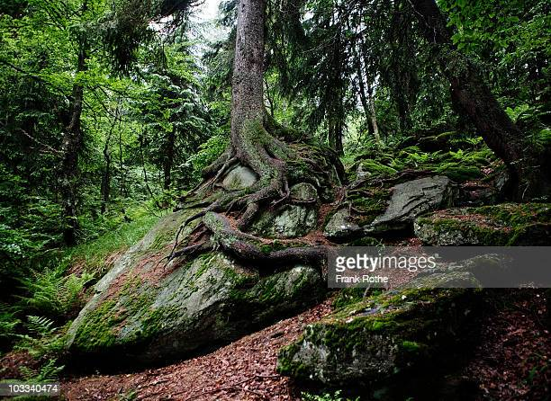beautiful tree grows on a rock in the woods