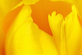 Beautiful yellow tulip closeup, it may be used as background