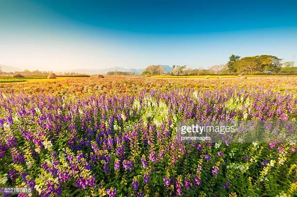 Schöne Tulpen über grünen Feld
