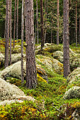 Beautiful  enchanted untouched summer  virgin  forest with pine trees, white reindeer lichen and heather.