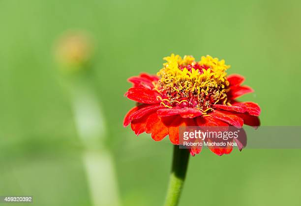 Beautiful variety of dahlia flower in a garden during autumn or fall