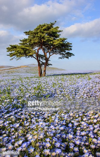 Beautiful view of nemophila (baby blue eyes) flowers at Seaside Park, Ibaraki : Stock Photo