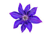 Violet or purple clematis flower isolated on a white background
