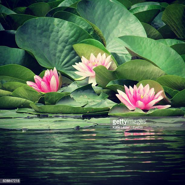 Beautiful Water Lilies In Lake
