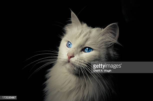 Beautiful white cat with blue sapphire eyes