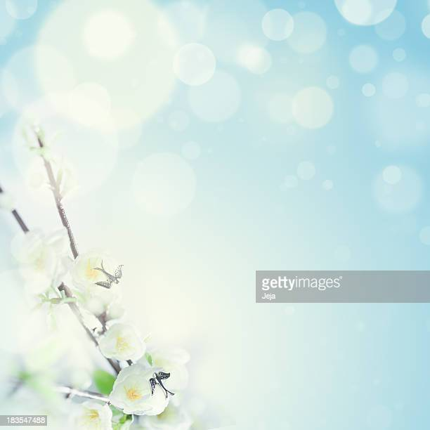 A beautiful white cherry blossom flower