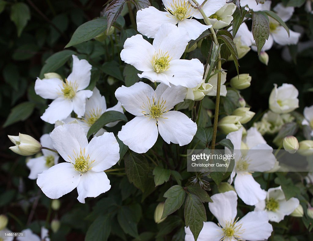 beautiful white clematis montana alba grandiflora stock. Black Bedroom Furniture Sets. Home Design Ideas