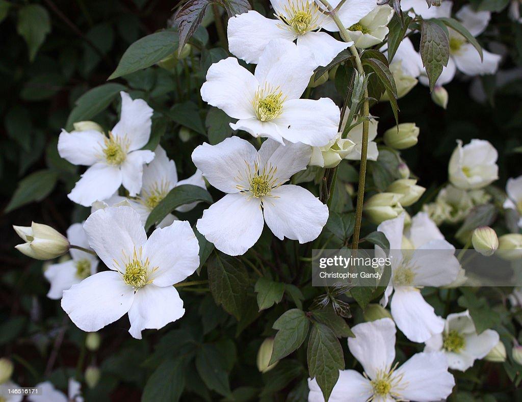 beautiful white clematis montana alba grandiflora stock. Black Bedroom Furniture Sets. Home Design Ideas