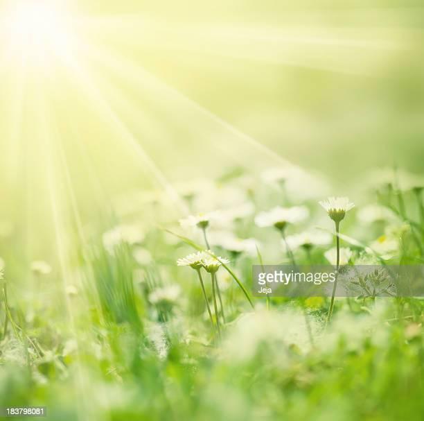 Beautiful white daisies illuminated by rays of sunshine