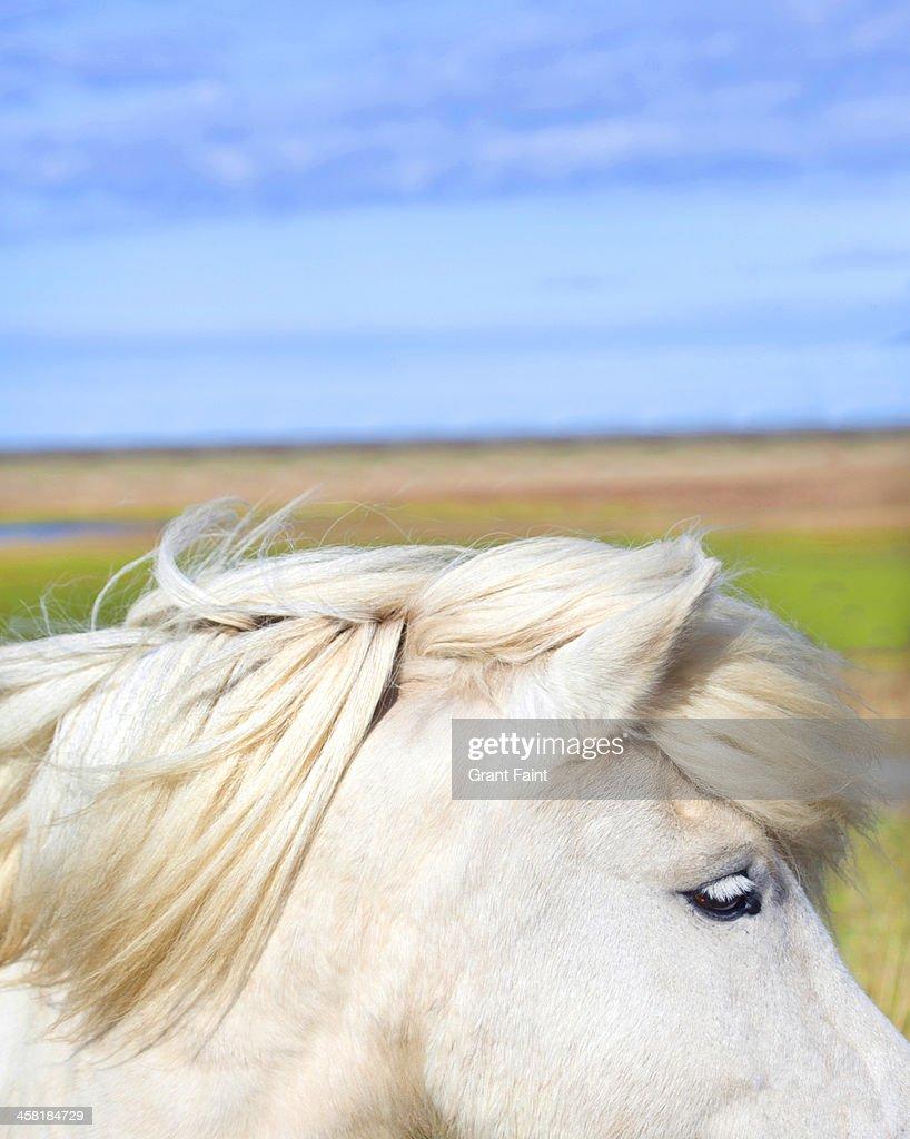 Beautiful white horse in wind : Stock Photo